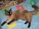Кішки, кошенята Тайська, Фото