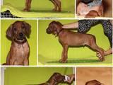 Собаки, щенята Родезійського ріджбек, ціна 10000 Грн., Фото