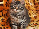 Кошки, котята Курильский бобтейл, цена 3200 Грн., Фото