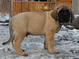 Собаки, щенки Английский мастиф, цена 16000 Грн., Фото