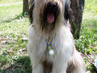 Собаки, щенята Бріар, ціна 2000 Грн., Фото