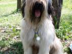 Собаки, щенки Бриар, цена 2000 Грн., Фото