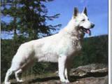 Собаки, щенята Біла Швейцарська вівчарка, ціна 1 Грн., Фото