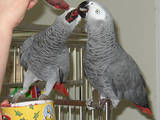 Попугаи и птицы Канарейки, цена 2500 Грн., Фото