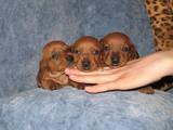 Собаки, щенята Гладкошерста мініатюрна такса, ціна 1600 Грн., Фото