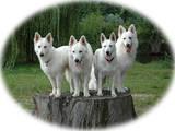 Собаки, щенята Біла Швейцарська вівчарка, ціна 3000 Грн., Фото