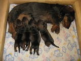 Собаки, щенки Жесткошерстная такса, цена 10 Грн., Фото