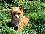 Собаки, щенята Китайська чубата собака, ціна 2800 Грн., Фото