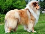 Собаки, щенки Длинношерстный колли, цена 6000 Грн., Фото