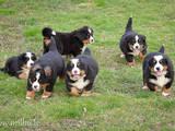 Собаки, щенята Гірський собака Берна, ціна 2 Грн., Фото