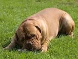Собаки, щенята Бордоський дог, ціна 2000 Грн., Фото