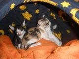 Кішки, кошенята Корніш-рекс, ціна 200 Грн., Фото