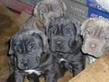 Собаки, щенки Мастино неаполетано, цена 3500 Грн., Фото