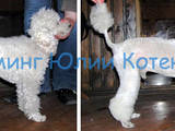 Собаки, щенки Услуги парикмахера, мойка, цена 250 Грн., Фото