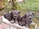 Собаки, щенки Миттельшнауцер, цена 1000 Грн., Фото