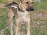 Собаки, щенки Бельгийская овчарка (Малинуа), цена 1 Грн., Фото