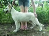 Собаки, щенки Белая Швейцарская овчарка, цена 5000 Грн., Фото
