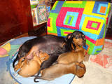 Собаки, щенята Жорсткошерста такса, ціна 1 Грн., Фото