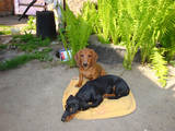 Собаки, щенки Жесткошерстная такса, цена 1 Грн., Фото