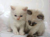 Кішки, кошенята Балінез, ціна 500 Грн., Фото