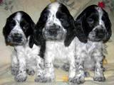 Собаки, щенки Английский спрингер спаниель, цена 800 Грн., Фото