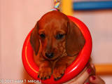 Собаки, щенки Гладкошерстная миниатюрная такса, цена 3600 Грн., Фото
