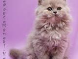 Кошки, котята Хайленд Фолд, цена 3200 Грн., Фото