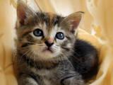 Кошки, котята Европейская короткошерстная, Фото