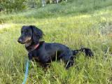 Собаки, щенки Длинношерстная такса, Фото