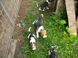 Собаки, щенята Ірландський тер'єр, ціна 500 Грн., Фото