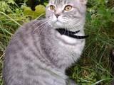 Кішки, кошенята Британська довгошерста, ціна 3500 Грн., Фото