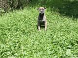 Собаки, щенята Іспанська мастіф, ціна 3200 Грн., Фото