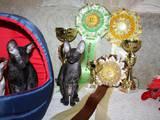 Кішки, кошенята Корніш-рекс, ціна 3000 Грн., Фото