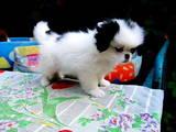 Собаки, щенята Японський хіни, ціна 1000 Грн., Фото