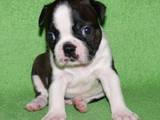 Собаки, щенята Бостонтерьер, ціна 11000 Грн., Фото