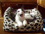 Кошки, котята Корниш-рекс, цена 3200 Грн., Фото