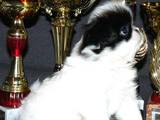 Собаки, щенята Японський хіни, ціна 8000 Грн., Фото