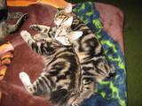 Кішки, кошенята Курильський бобтейл, ціна 2500 Грн., Фото