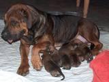 Собаки, щенята Південноафриканський Бурбуль, ціна 1000 Грн., Фото