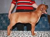 Собаки, щенята Родезійського ріджбек, ціна 100 Грн., Фото