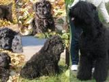 Собаки, щенки Ризеншнауцер, цена 1500 Грн., Фото