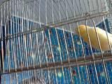 Папуги й птахи Канарки, ціна 250 Грн., Фото