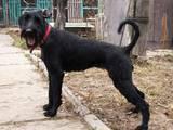 Собаки, щенки Ризеншнауцер, цена 10 Грн., Фото