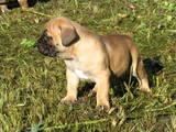Собаки, щенята Південноафриканський Бурбуль, ціна 3500 Грн., Фото