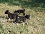 Собаки, щенята Басенджі, ціна 8000 Грн., Фото