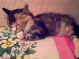Кошки, котята Сибирская, цена 10 Грн., Фото