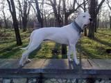 Собаки, щенята Аргентинський дог, ціна 3200 Грн., Фото