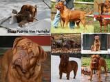 Собаки, щенята Бордоський дог, ціна 16000 Грн., Фото