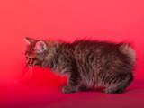 Кішки, кошенята Курильський бобтейл, ціна 4000 Грн., Фото
