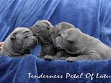 Собаки, щенки Родезийский риджбек, цена 33000 Грн., Фото